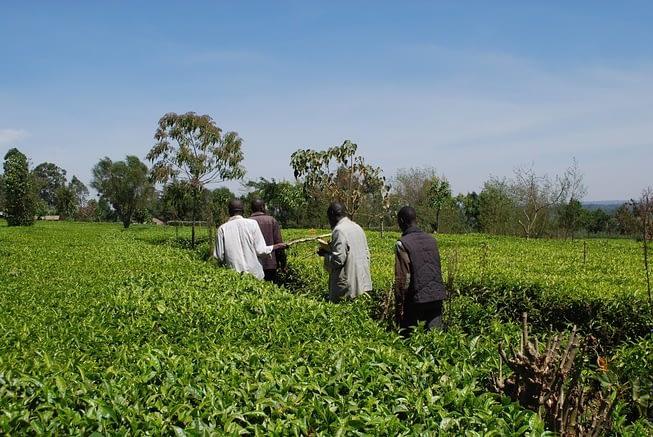 WeFarm - Farmers in Tea Field